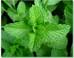 گیاهان دارویی- قسمت دوم- گروه گردشگری ماناسلو